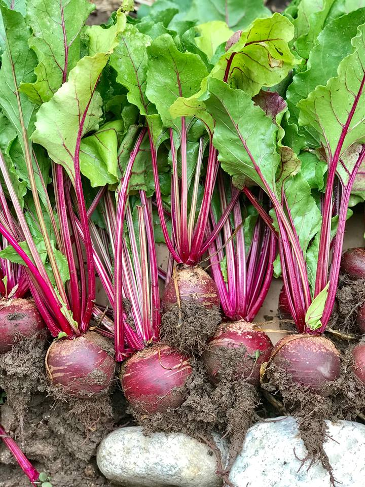 How to Grow Beets: Planting, Growing, Harvesting, and Use
